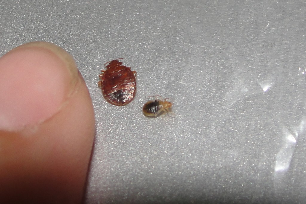 What Does A Baby Bed Bug Look Like The