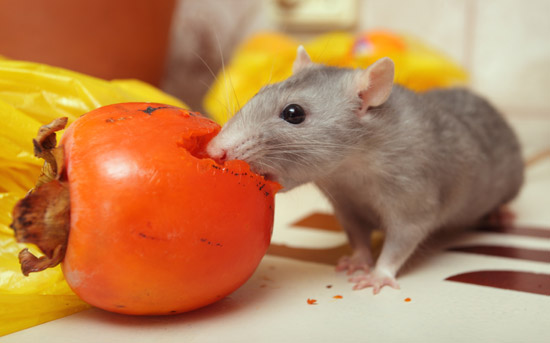 Do Mice Store Food Like Squirrels