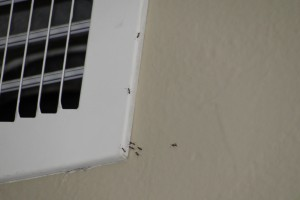 Ants at vent