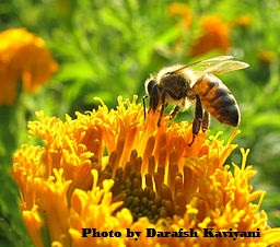 Bee on flower (Photo by Darafsh) Kaviyani
