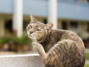 Cat_scratching fleas public