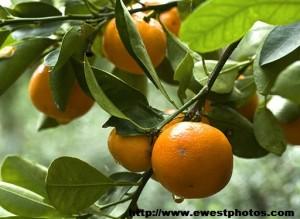 Orange_tree_branch