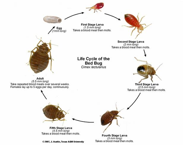 life cycle of bed bug orange county