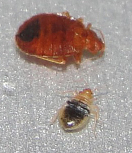 Adult Nymph Bed Bugs