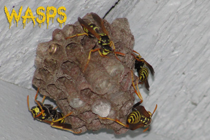 wasps in orange county ca