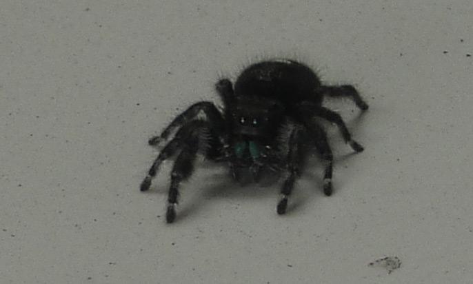 Darling Jumping Spider