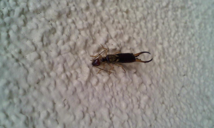 earwig-bug-big1a