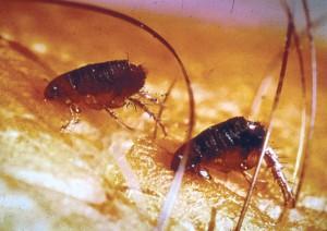 Fleas on Hair & Skin