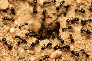 black ants orange county