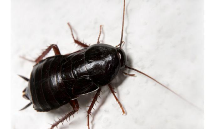 black cockroach orange county