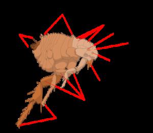 flea-diagram