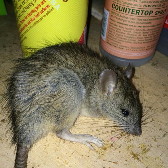 dead-rodent-rat