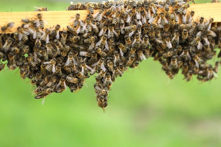 bee-bees-swarm-orange-county
