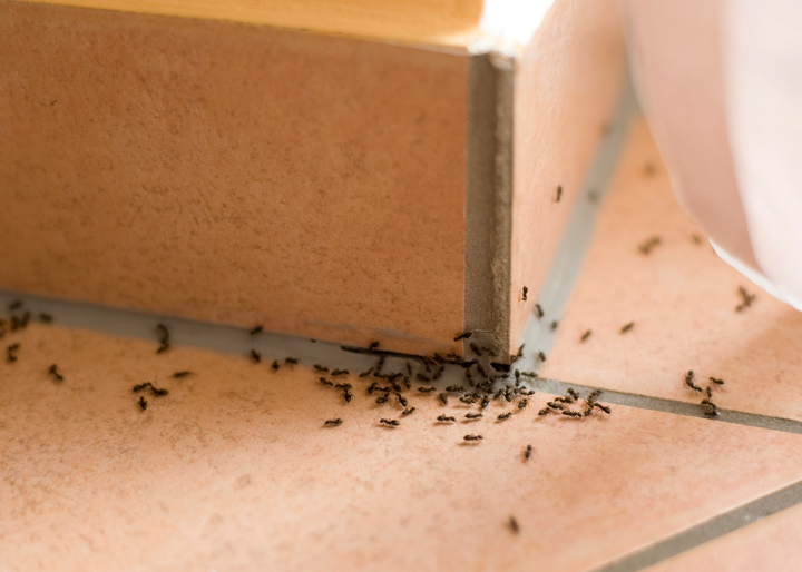 pantry-pests-ants-fountain-valley
