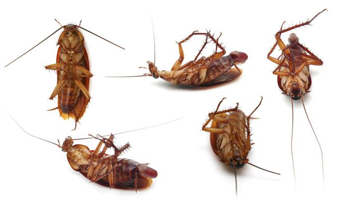 american-cockroach-exterminator-orange-county-socal-preferred-pest-control