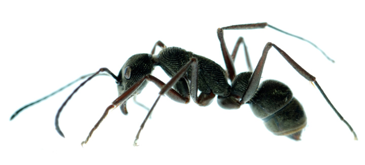 black-ant-fountain-valley