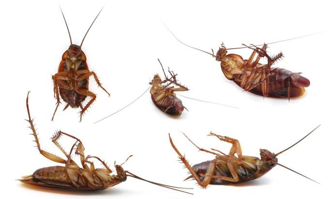german-cockroach-southern-california-exterminator-orange-preferred-pest-control
