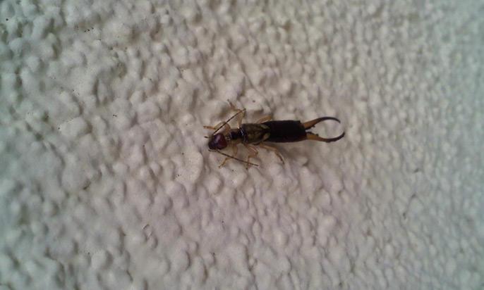 socal-exterminator-earwig-pincer-preferred-pest-control-oc