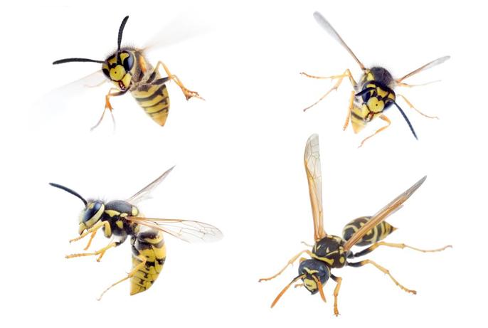 oc-yellow-jacket-socal-orange-county-exterminator-pest-control