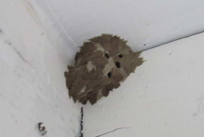 wasps-nest-yellow-jacket-paper-wasp-control-socal