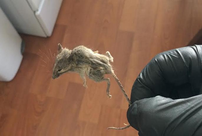 mouse-rat-rodent-pest-exterminator-california-control