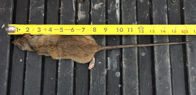 rats-mice-exterminator-oc-socal-orange-county-pest-control