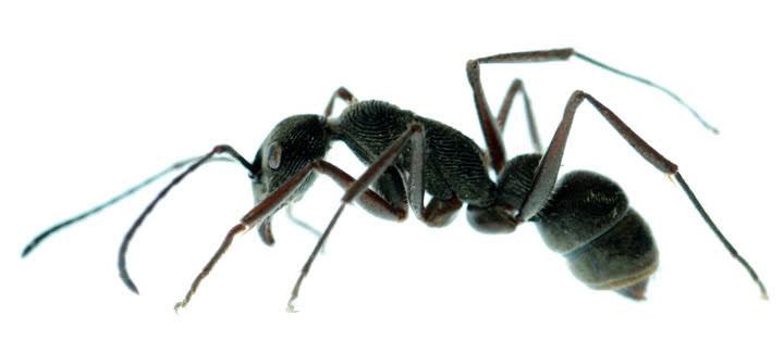 ant-control-exterminator-OC-california-pest