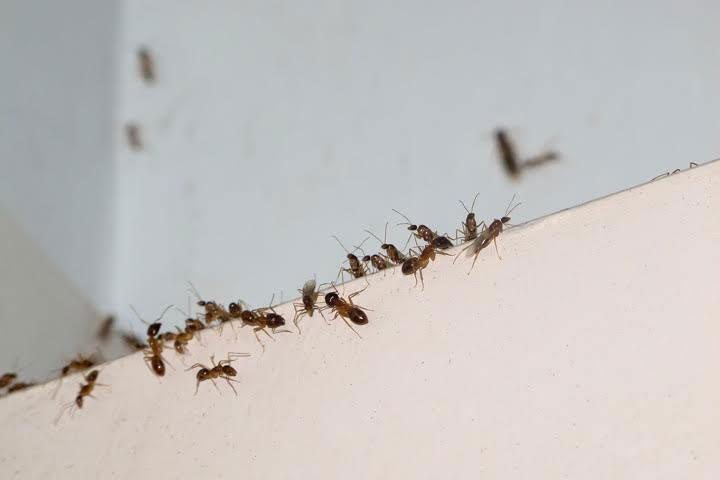 preferred-pest-control-socal-ant-pests-exterminators