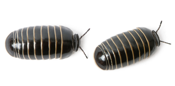 socal-sowbug-pillbug-roly-poly-pest-control