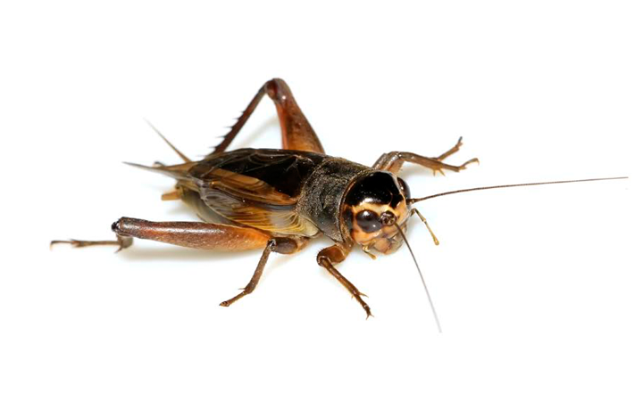 orange-county-house-cricket-exterminator