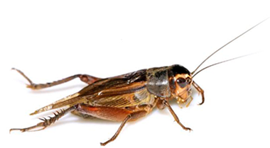 souther-california-pest-control-cricket