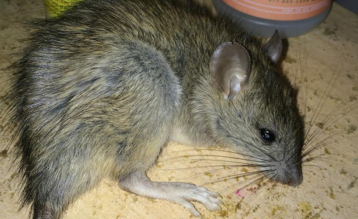 norway-rat-extermination-pest-control-orange-county-oc