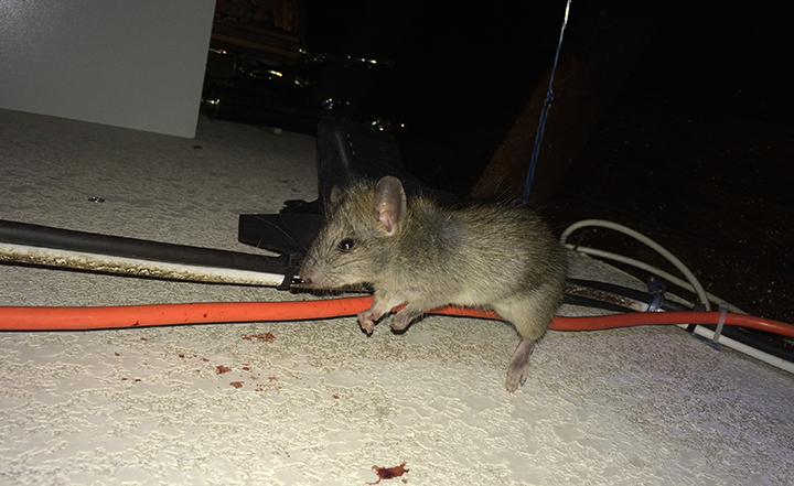 preferred-pest-control-orange-county-oc-rat-exterminators