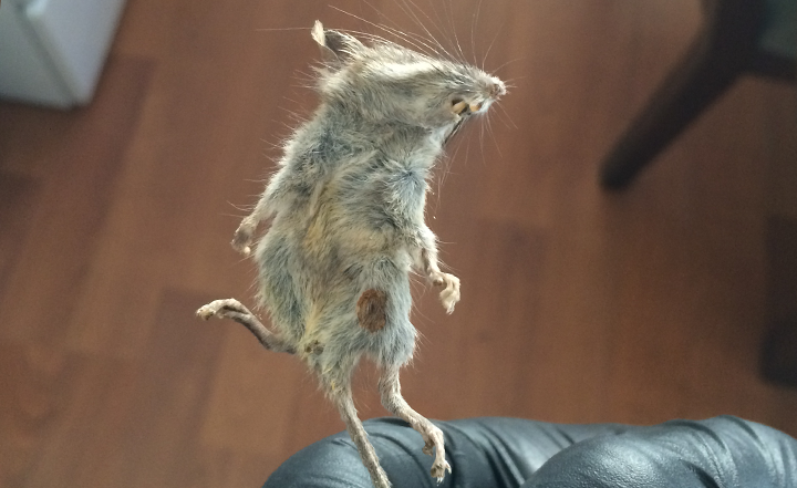 roof-rat-oc-socal-southern-california-extermination-pest-rodent-control