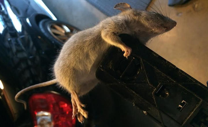 southern-california-norway-rat-infestation-socal-oc