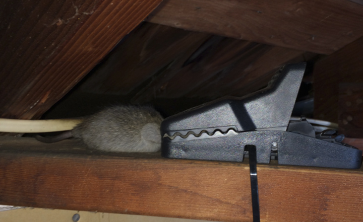 mice-rats-rodent-proofing-socal-oc-extermination