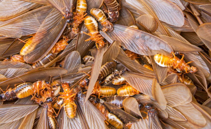 termites-orange-county-drywood-fumigation-socal-exterminator-pest-control