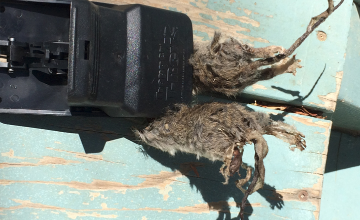 Rodent Infestation In Oc Cities Pest Control Blog