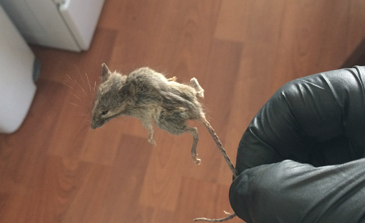 rodent-huntington-beach-westminister-fountain-valley-exterminator-pest-control-mice-rats