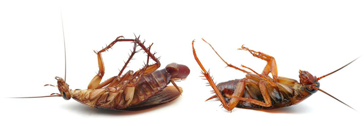 american-cockroach-control-westminister-garden-grove-irvine-extermination-infestation