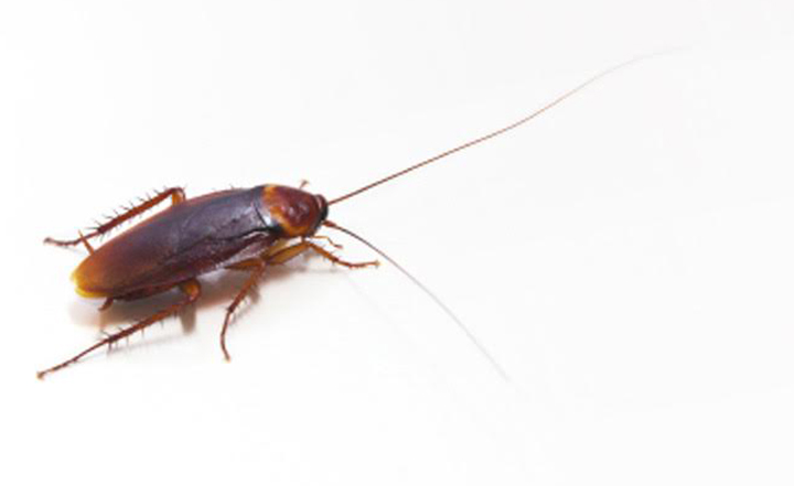 american-cockroach-exterminator-socal-orange-county-anaheim-fullerton-cypress