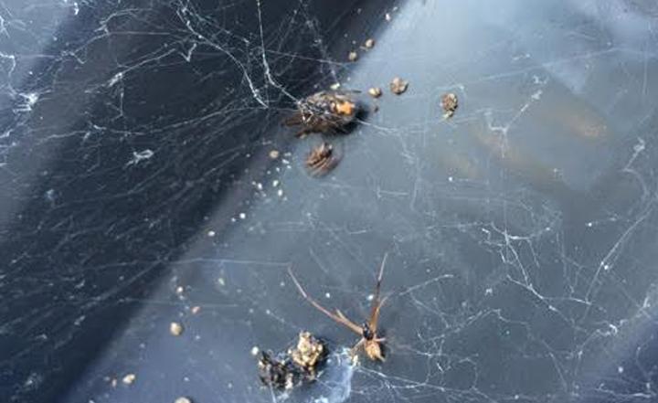 spider-exterminator-orange-county-oc-anaheim-fullerton-westminister-irvine-cypress-pest-control
