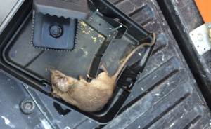 socal-OC-orange-county-rodent-exterminator-control-pest