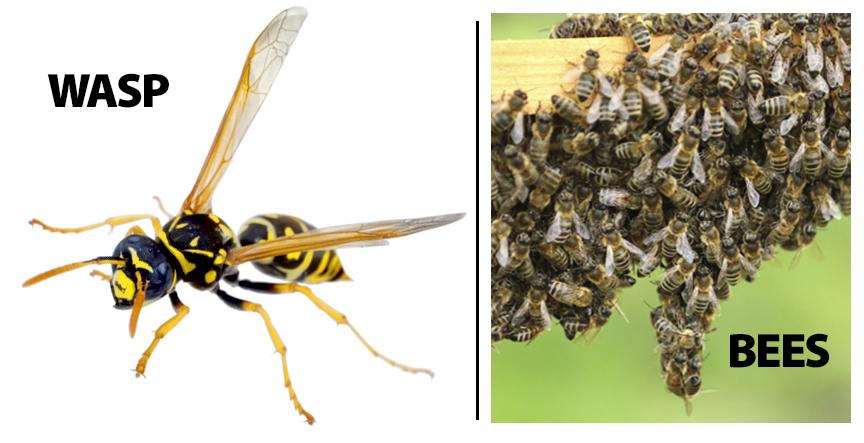 wasp-bees-orangecounty