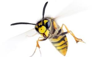 wasp-orangecounty