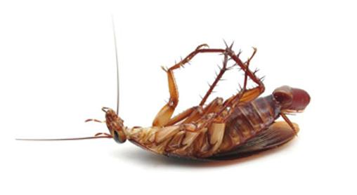 german-cockroach-orange-county