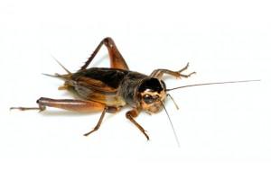 cricket-oc