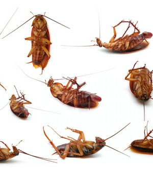 The German cockroach in Orange County