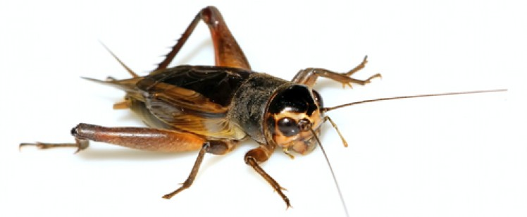 They're back! Get rid of crickets