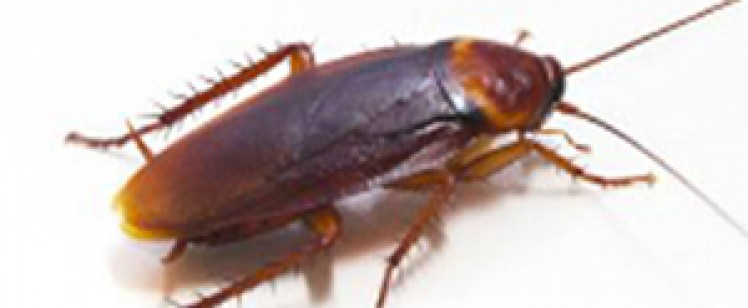 AMERICAN ROACH TAKING OVER